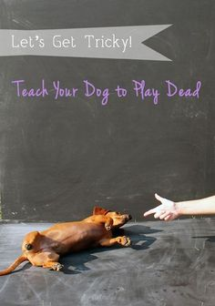 Ammo the Dachshund // Lets Get Tricky // Teach Your Dog to Play Dead, this website is so great! it covers every thing from diy toys and treats, tricks, everything!