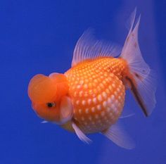 How To Care For Pearlscale Goldfish Correctly…The pearlscale or chinshurin in Japanese, is one of the numerous varieties of goldfish and is also one of the most commonly-bought pets. Pearlscales come in every colour variety. Pearlscales are egg shaped with internal organs crowding the creature's compact body, therefore overfeeding should be avoided...(continue reading please click an above link)