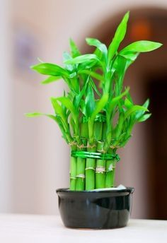 A bathroom is often a dark, humid environment that's not conducive to house plants - but these 16 plants thrive in your bathroom and add a beautiful pop of life and greenery. Dracaena Plant, Evergreen Vines, Fast Growing Plants, Iron Plant, Low Light Plants, Spider Plants, Bathroom Plants, Orchid Plants, Orchids