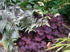 Athyrium nipponicum 'Pictum', Helleborus orientalis, Oxalis triangularis