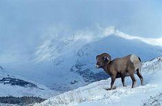 Animals+in+Colorado+Mountains | Bighorn Mountain Sheep