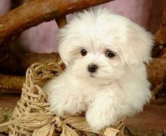 Maltese! We would've bought this pup, but settled for a Papillon instead, lol. @Irene Chen