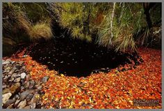 Red orange and yellow dead Southern Rata leaves pooled in dark tanin stained water of creek mouth (Metrosideros umbellata).  Auckland Islands.