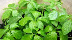 Ženšen pětilistý pochází z Číny Herbs, Vegetables, Health, Health Care, Herb, Vegetable Recipes, Veggies, Salud, Medicinal Plants