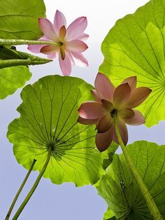 photo of lotuses from below