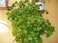 El dólar es una planta colgante de hojas pequeñas un poco redondeadas y de un color verde intenso. Florece en el otoño y su flor es de un color azul violác
