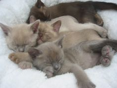 Blue, chocolate, lilac & brown baby Burmese! <3