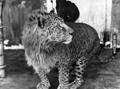 A leopon - leopard (m) lion (f) hybrid. You're welcome.