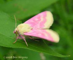 鮮やかなピンク色の体をした蛾 - GIGAZINE