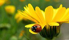 Ladybug on Flower Petal