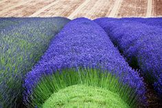 Lavender Varieties, Color Lavanda, Cash Crop, Landscaping Trees, Landscaping Software, Growing Mushrooms, Lavender Fields, Lavender Blossoms, Lavender Garden