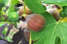 How to overwinter a potted fig.