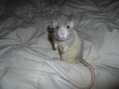 """Rat Fan Club """"Ravioli"""""""