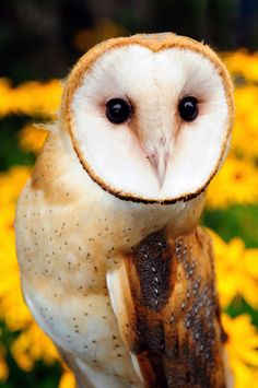 Barn owls readily breed in nest boxes and can live at high densities. Consequently, farmers increasingly seek out these owls to control rodent populations in agricultural fields. (Credit: Julie Larsen Maher © WCS.)