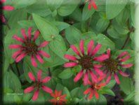 Heirloom Flower - Zinnia 'Red Spider' Grown before 1801.