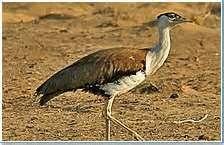 thar desert wildlife - Bing Images