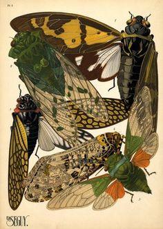 1. Goeana festiva. Indes; 2. Zammara tympanum. Amérique du Sud; 3. Goeana ochracea. Indes; 4. Phenax variegata. Brésil; 5. Hemisciera maculipennis. Amazone (E.A. Séguy)