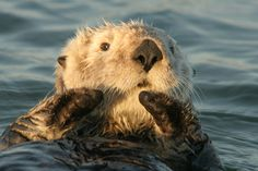 Sea Otters are plentiful on tour with Elkhorn Slough Safari, leaving from Moss Landing.