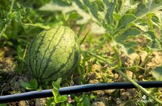 Tuberías con goteros 💧 integrados ideales para ahorrar agua y producir ricos frutos como las sandías🍉🍉 👇 👇 👇 [+Info ➡ 955 99 81 81/ info@aquatubo.com] Watermelon, Fruit, Drip Irrigation System, Water Treatment, Growing Up, Save Water