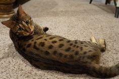 36 Best F2 Savannah Cats images in 2019 | F2 savannah cat