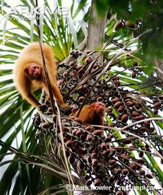Bald-headed uakari (Cacajao calvus) -(Ucayali Bald-headed Uakari feeding on aguaje palm fruits pictured.) For South American primates they have particularly short tails and broad, flat faces. Four different subspecies are recognised and these exhibit different coat colourations.
