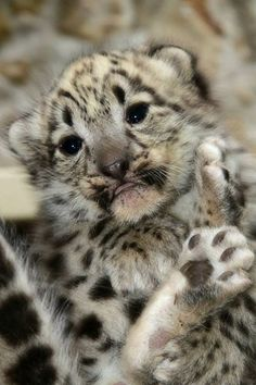 Two baby Snow Leopards born at Zoo Boise have an important job in a national conservation program. The cubs, a male and a female, were born May 23 to parents Kabita and Tashi and are the first Snow Leopards ever born at the zoo.