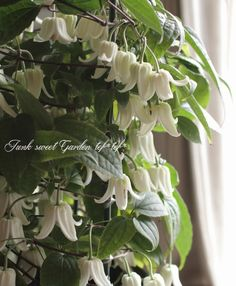 ベル咲きクレマチス 『アンスンエンシス』 | すべての商品 | | Junk sweet Garden tef*tef* Green Flowers, Clematis, Ohana, Garden, Plants, Garten, Lawn And Garden, Gardens, Plant
