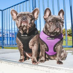 NEW ITEM! *NOW AVAILABLE IN SIZE SMALL The Frenchie Duo Reversible Harness is interchangeable between two fun, fashionable colors, giving you two harnesses in one! - Signature Frenchie Bulldog Reversible Design - Signature, Frenchie Bulldog Fit - Custom Color Premium Breathable Mesh with Form-Fitting/ Quick-Dry Capabilities - NEW High Density Branded buckle with 4-point lock system for added safety SIZING
