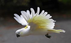 Sulphur-crested Cockatoo In Flight. by Clement Tang ** busy on Flickr