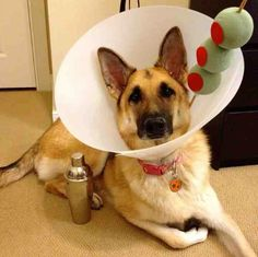 great costume for a large dog next year.
