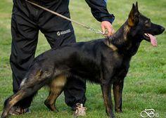 Von Bauffin German Shepherd Dogs