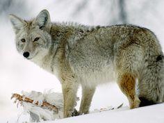 El coyote es un personaje habitual en cuentos y tradiciones de los indios norteamericanos coyote, donde generalmente aparece como un animal ...