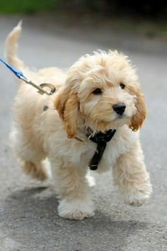 Cavapoo (Cavalier King Charles Spaniel and Poodle mix) omg so cute and would go so well with my adorable cockapoo Chien Goldendoodle, Cockapoo Puppies, Cute Puppies, Cute Dogs, Dogs And Puppies, Doggies, Baby Dogs, Labradoodle Dog, Miniature Labradoodle