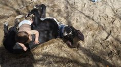 """My Dane is innocent, the """"victim"""" wants to profit off his life. Please please SIGN and SHARE this petition to help this sweet dog... so he won't be killed!"""