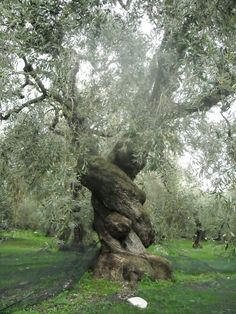 Ancient olive tree in Pelion, Greece. Olive Tree was sacred to the goddess Athena; a crown of olive was given to the winner of the Olympic Games. Terre Nature, Magical Tree, Old Trees, Unique Trees, Nature Tree, Tree Forest, Olive Tree, Tree Of Life, Belle Photo