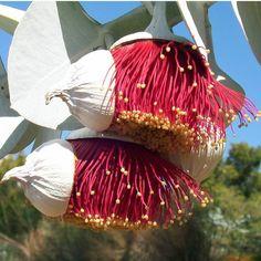 Flores do Eucalyptus rhodantha, planta  vulgarmente conhecida como a mallee rosa. Esta planta em extinção é endêmica na  Austrália Ocidental. Suas flores vermelhas surgem nos meses de verão. A planta é  melhor conhecida por suas folhas prateadas-azul. Ao contrário da maioria das espécies de eucaliptos, o mallee rosa mantém a sua folhagem juvenil ao longo da vida da árvore.