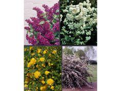 Blütensträucher-Sortiment I, bestehend aus: Kerria, Falscher Jasmin, Flieder, Maiblumenstrauch, je 1 Pflanze im 2 Liter Topf, ca. 40 - 60 cm 1