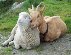 "That goat's all like, ""I love cashmere""."