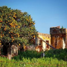 Nature will always prevail.  #instagood #instamood #nature #green #sky #sun #photooftheday #tbt #orange #orangetree #grass #ruins #old #oldhouse #abandonedplaces #abandoned