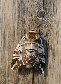 Kentish Glory Moth - photo by MattiSuopajärvi