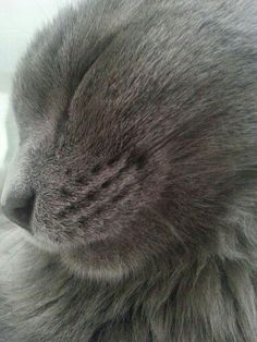 Jackie Grey Kitten, Grey Cats, White Cats, Kittens Cutest, Cats And Kittens, Benny And Joon, Korat Cat, Cat Expressions, Funny Animals