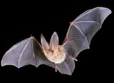 Just another pic of a misunderstood bat. This is a Townsend Big-ear bat. Shockingnly it the state bat of Virginia one of only three states to have a state bat. Usually Virginia is one of three states to get something wrong! Bumblebee Bat, Bat Facts, Bat Species, Endangered Species, Bat Flying, Finger Plays, Vampire Bat, Nocturnal Animals, Animal Facts