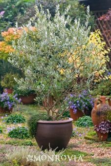 Monrovia's Majestic Beauty® Fruitless Olive details and information. Learn more about Monrovia plants and best practices for best possible plant performance. Potted Olive Tree, Potted Trees, Trees To Plant, Patio Trees, Garden Trees, Garden Pots, Container Plants, Container Gardening, Baumgarten