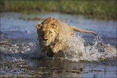 Leão cruzando rio infestado de crocodilos