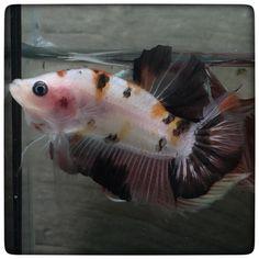 AquaBid.com - Black orange KOI (1335)