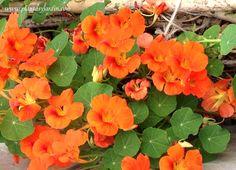 Tropaeolum majus, Capuchina o Taco de reina: hojas y flores frescas, son comestibles. Poseen un amargo y picante sabor.