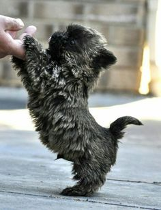 Baby Cairn Terrier...think ToTo  from The Wizard of Oz...that's the breed...too cute!!!