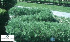 Salix purpurea 'Nana'. Dwarf Blue Arctic Willow.