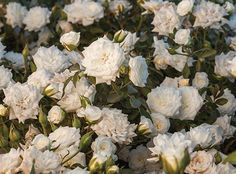The White Drift® Rose is the newest addition to the Drift® series. It has bright white, fully double blooms perfectly shaped like a miniature rose flower. It has a true ground cover habit, with the superior disease resistance you would expect from a Drift® Groundcover Rose.