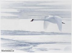 So long Winter Swan By LeeAnn McLaneGoetz McLaneGoetz StudioLLC.com  As the ice is broken near Harsens Island by the Coast Gaurd Ice Cutters the Swans are starting to find the only open water as a great meeting spot prior to flight. Algonac Michigan.